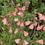 Salvia x jamensis 'Imelda'