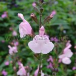 Salvia x jamensis 'Peter Vidgeon'