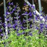S. x jamensis 'Purple Queen'