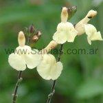 S. x jamensis 'Yellow'