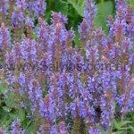 Salvia sylvestris 'Blauhugel'