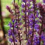 Salvia x sylvestris 'Caradonna'