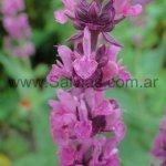 Salvia x sylvestris 'Rosenwein'