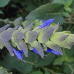 image salvia-atrocyanea-flower-buds-jpg