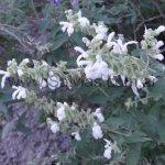 Salvia calolophos 'Alba'
