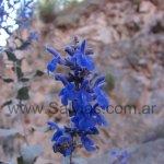 Salvia calolophos 'Quebrada de Escoipe'