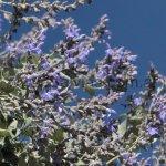 Salvia calolophos 'Quebrada del Toro'