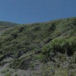 image salvia-calolophos-plants-jpg
