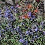 image salvia-calolophos-flower-jpg