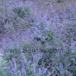 image salvia-calolophos-habitat-jpg