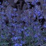 image salvia-calolophos-plant-habit-jpg