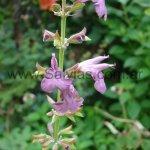 S. coccinea 'Lavender'