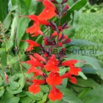 S. coccinea 'Forest Fire'