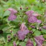 Salvia coccinea 'Summer Jewel Lavender'