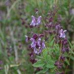 Salvia cuspidata subsp. gilliesii en hábitat