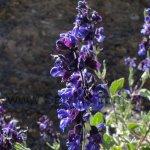 Salvia cuspidata ssp. gilliesii