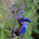 image salvia-cuspidata-subsp-gilliesii-flower-jpg