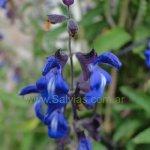 image salvia-cuspidata-subsp-gilliesii-spike-jpg
