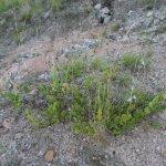 Salvia ovalifolia en hábitat