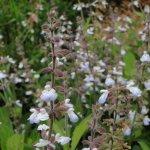 Salvia ovalifolia var. ovalifolia 'Candelaria'