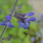 Salvia ovalifolia var. ovalifolia (Híbrida)