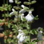 S. ovalifolia var. ovalifolia 'forma erecta'