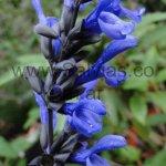 Salvia guaranitica 'Congestiflora'