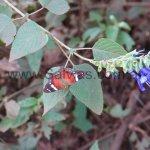 S. guaranitica en hábitat