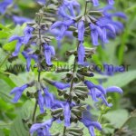 Salvia guaranitica 'Heirloom'
