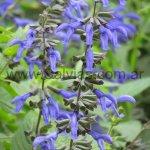 Salvia guaranitica 'Heirloom'