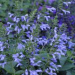 Salvia guaranitica 'Lilac Bicolour'