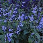 Salvia guaranitica 'Lilac Bicolour'