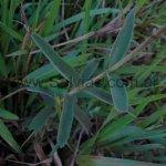 Salvia nervosa en hábitat