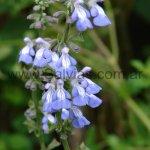 Salvia pallida 'Pre-Delta'