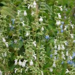 Salvia pallida 'Alba'