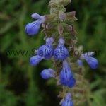 Salvia pallida en hábitat