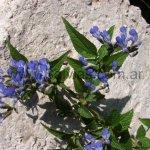 Salvia rypara en hábitat