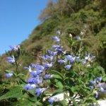 Salvia rypara ssp. rypara