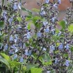 Salvia stachydifolia 'Congestiflora'