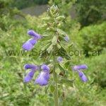 Salvia stachydifolia en Catamarca