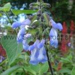 Salvia stachydifolia formas comerciales (UK)