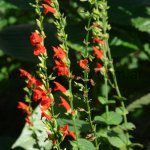 Salvia subrotunda
