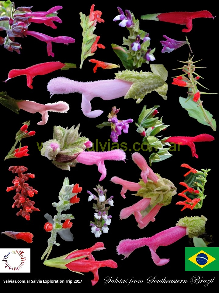 salvias from southeastern brazil 2017